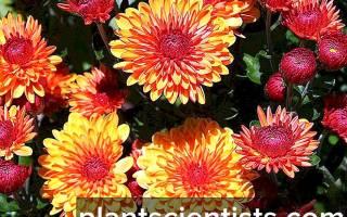 Почему хризантема не цветет в домашних условиях