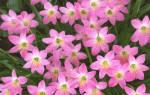Комнатный цветок выскочка