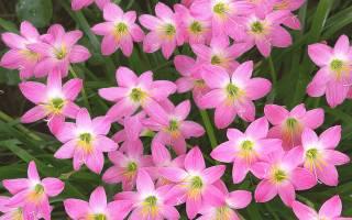 Цветок выскочка уход в домашних условиях