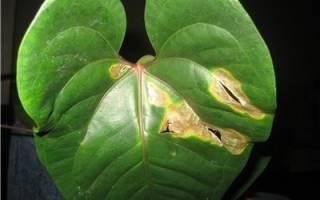 Почему у антуриума мелкие листья