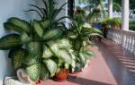 Ядовитое комнатное растение диффенбахия