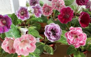 Цветок глоксиния уход в домашних условиях