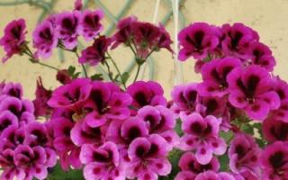 Почему не цветет герань