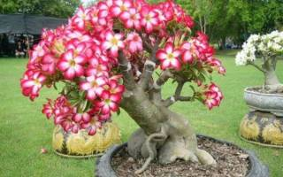 Цветы адениумы выращивание размножение