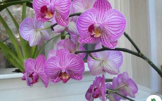 Как правильно пересаживать орхидею в домашних условиях