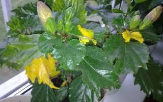 Гибискус почему желтеют и опадают листья