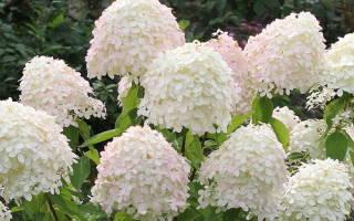 Гортензия садовая метельчатая