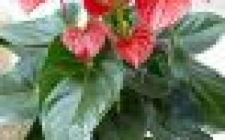 Почему зеленеют цветы у антуриума