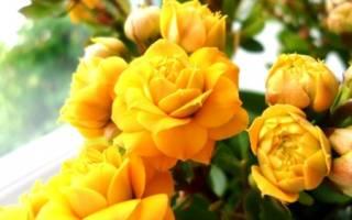 Каланхоэ не цветущий