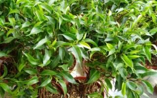 Почему опадают листья с фикуса