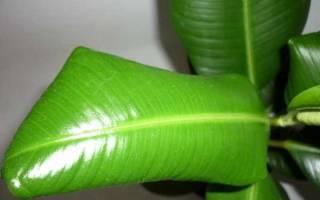 У фикуса закручиваются листья что делать