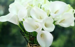 Каллы цветы домашние