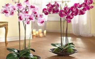 Как пересадить орхидею фаленопсис в домашних условиях