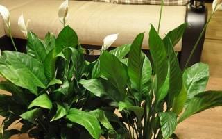 Спатифиллум уход в домашних условиях секрет успеха