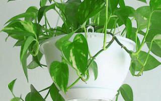 Вьющиеся растения для квартиры
