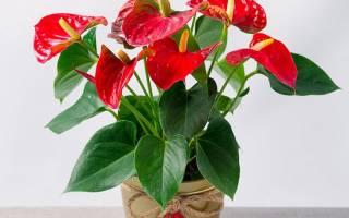 Цветок антуриум как ухаживать