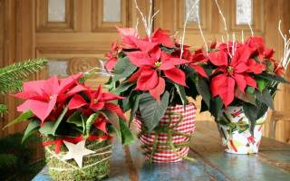 Рождественская звезда уход в домашних условиях