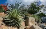 Домашнее растение агава