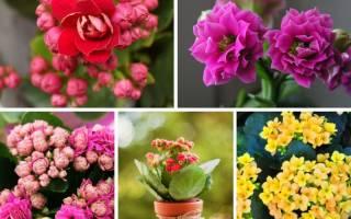 Комнатные красивоцветущие цветы