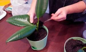Как посадить фикус черенком