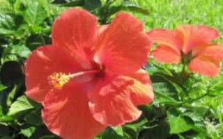 Гибискус садовый древовидный