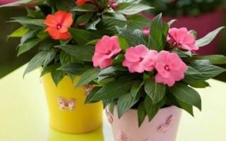 Как ухаживать за цветком бальзамин