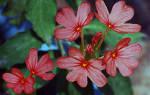 Кассандра цветок комнатный