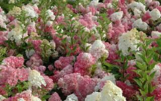 Гортензия метельчатая hydrangea paniculata vanille fraise