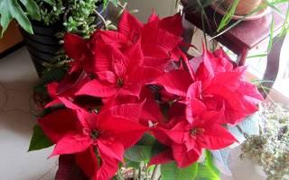 Цветок с красными листьями на макушке