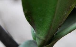 Липкие капли на листьях орхидеи что делать