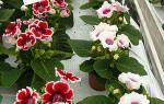Глоксиния выращивание из семян