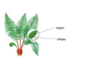 Образование спор у папоротника тип размножения