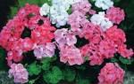 Почему герани не цветут