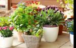 Цветы для аллергиков
