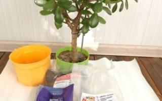 Денежное дерево когда пересаживать