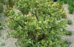Денежное дерево пересадка в какой горшок