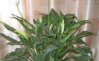 Спатифиллум сохнут листья