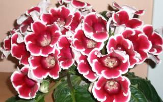 Почему не цветет глоксиния
