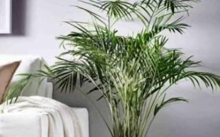 Пересадка финиковой пальмы в домашних условиях