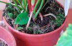 Какая почва нужна для антуриума