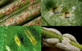 Белые насекомые на комнатных растениях