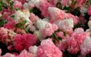 Разновидности гортензий садовых