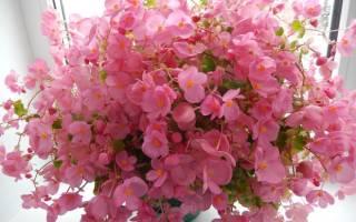 Бегония цветущая уход в домашних условиях
