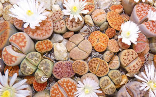 Литопсы из семян в домашних условиях