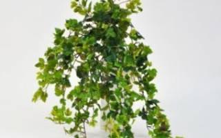 Берёзка комнатное растение можно ли держать дома
