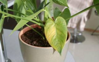 Антуриум почему желтеют листья