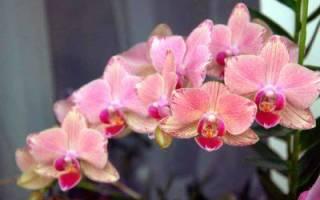Как сажать семена орхидеи в домашних условиях