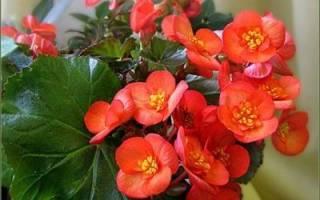 Бегония вечноцветущая размножение черенками