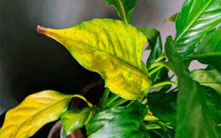 Спатифиллум почему сохнут кончики листьев