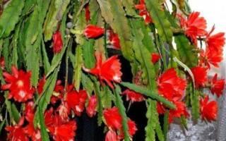 Лесной кактус эпифиллум